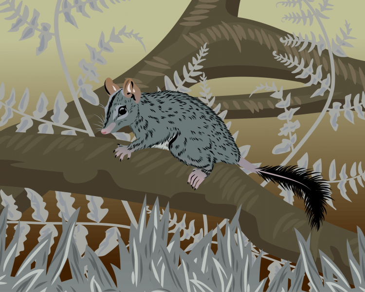 Brush-Tailed Phascogale