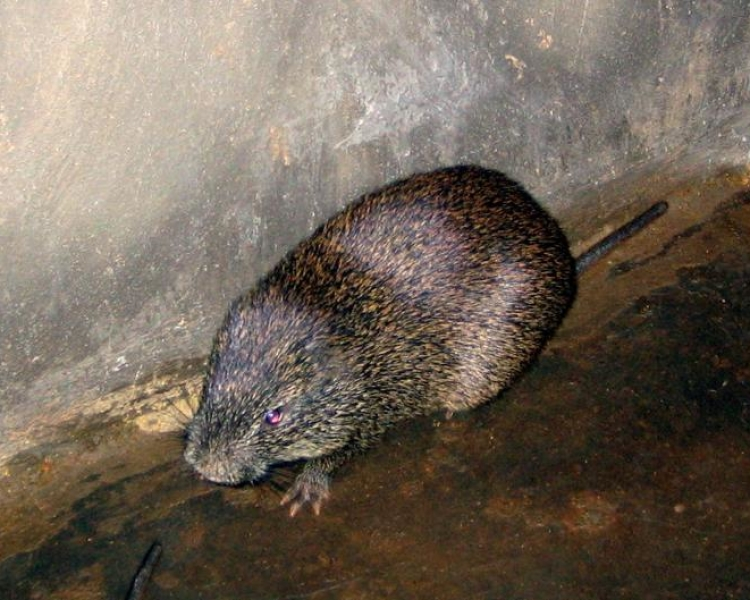 Greater Cane Rat