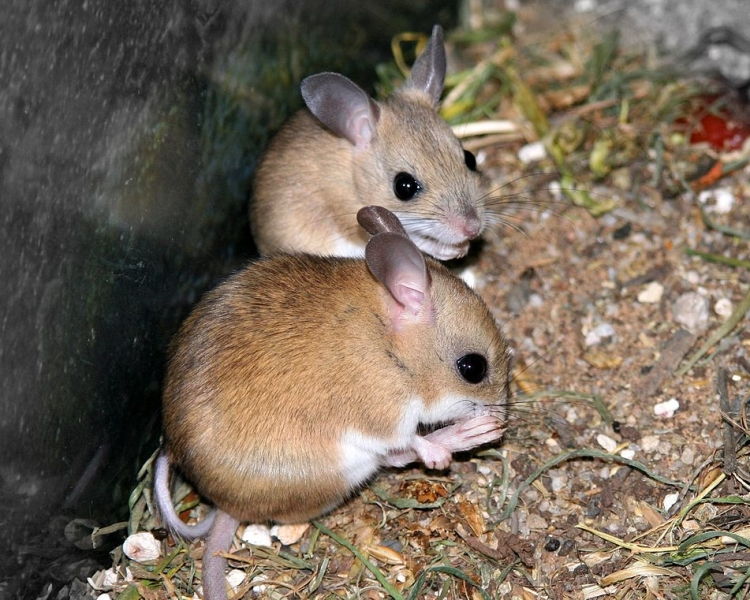 Spinifex Hopping Mouse
