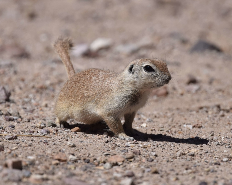 Round-Tailed Ground Squirrel