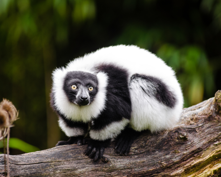 what is the primary diet of a lemur
