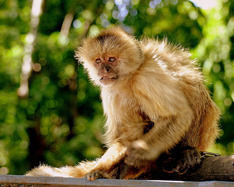 White-Fronted Capuchin