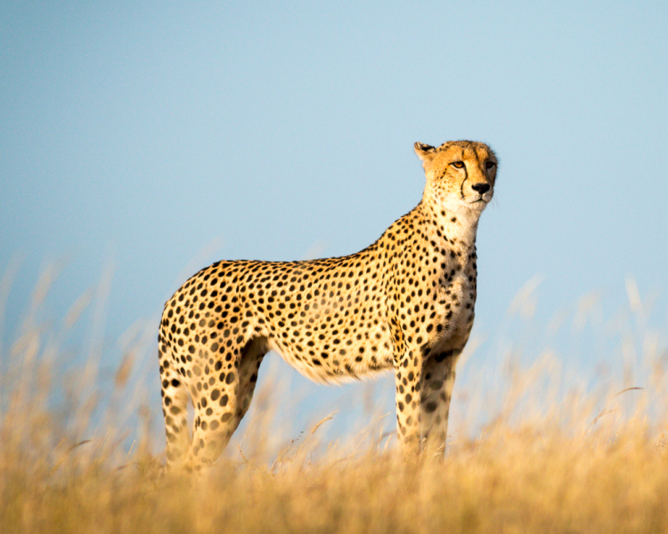Cheetah - Facts, Diet, Habitat & Pictures on Animalia bio