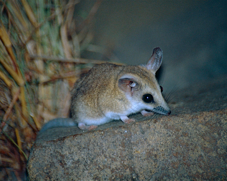 fat tailed dunnart diet
