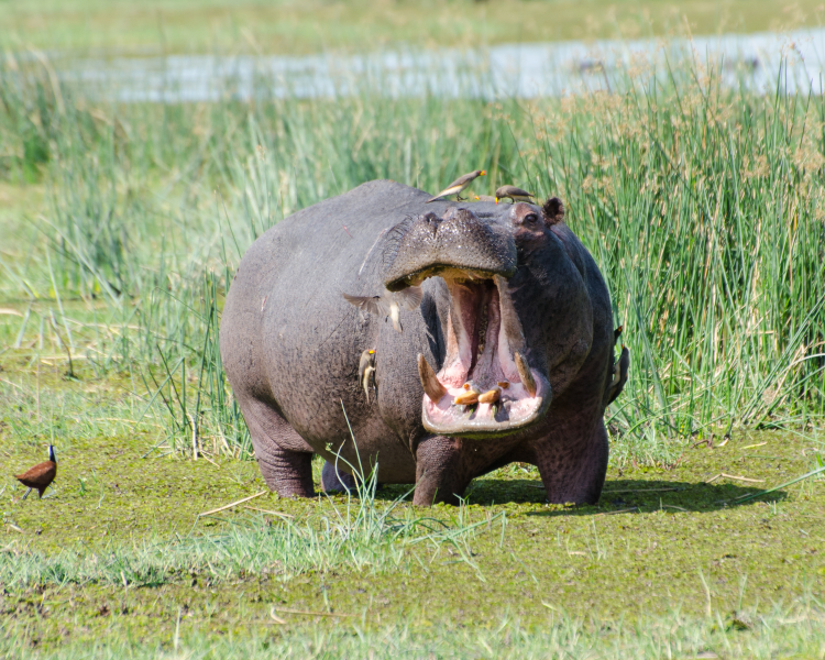 Common Hippo