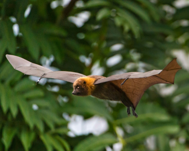 Madagascan Flying Fox
