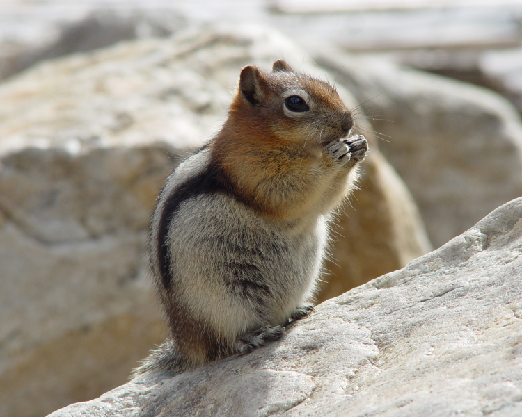 Golden-Mantled Ground Squirrel