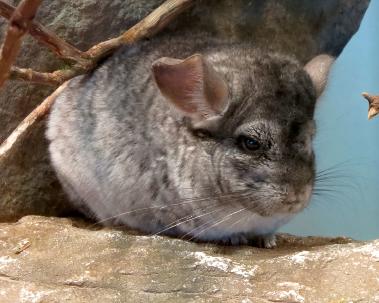 Short-Tailed Chinchilla