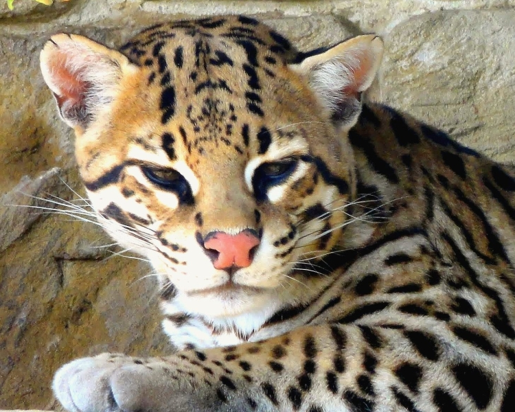 Interesting facts about ocelots
