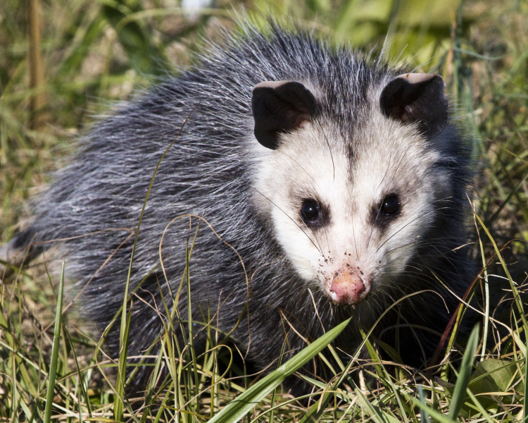 does opossums diet change during the seasons