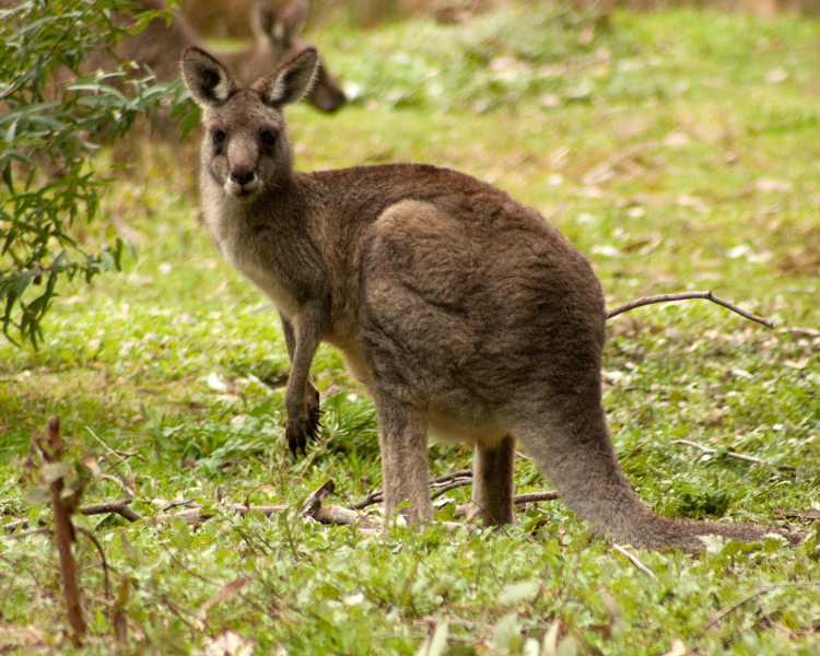 Red Necked Wallaby Facts Diet Habitat Pictures On Animalia Bio