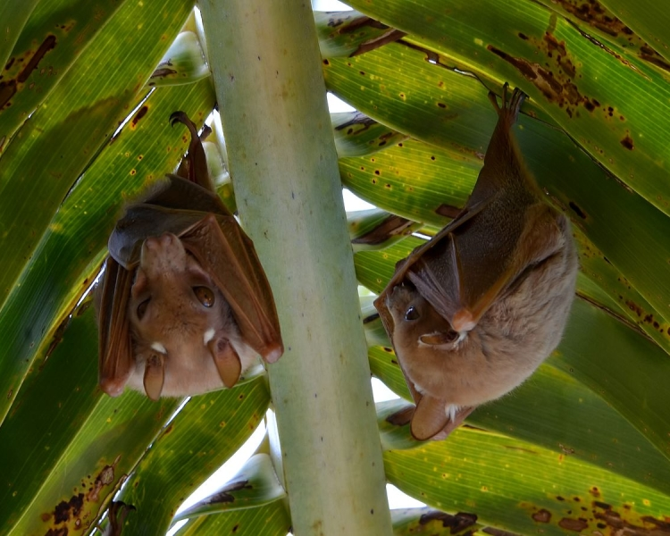 Wahlberg's Epauletted Fruit Bat