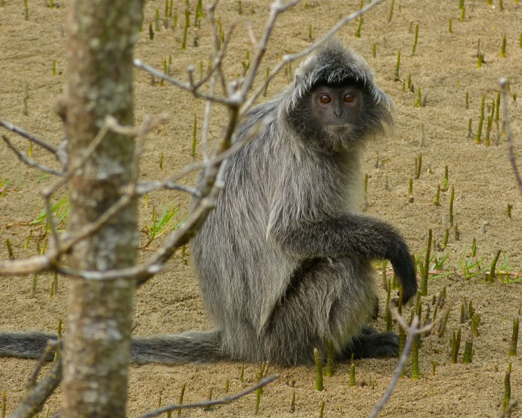 Silvery Lutung