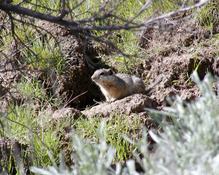 Idaho Ground Squirrel