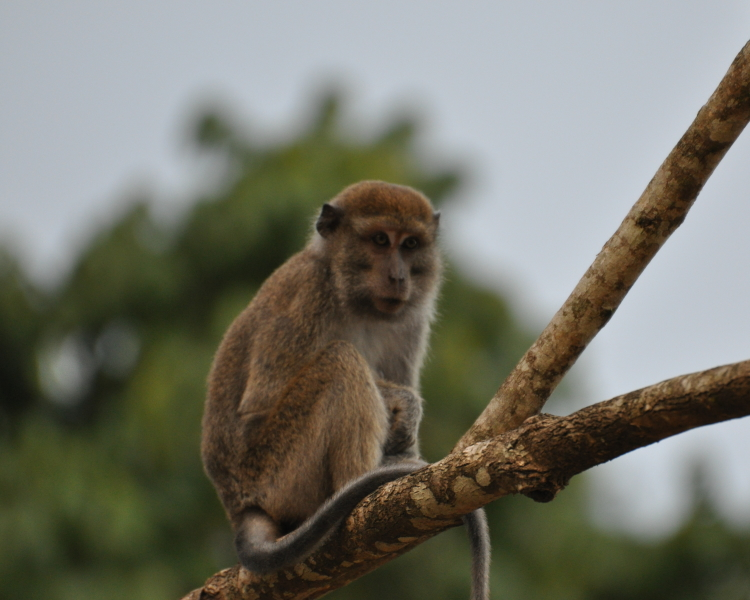 diet of long tailed macaques