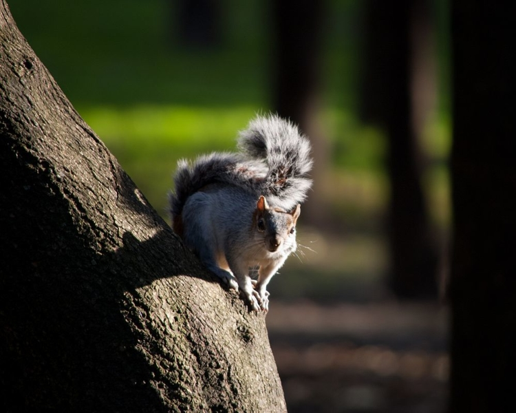 Mexican Gray Squirrel