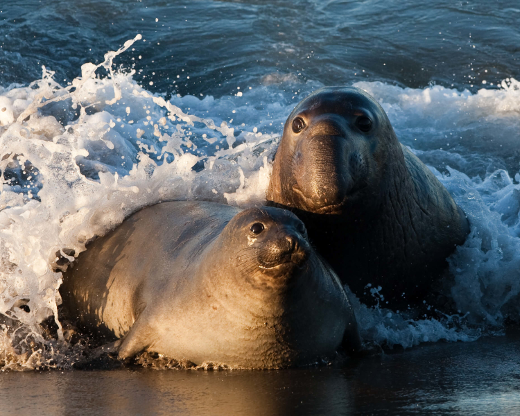 what are elephant seal diet
