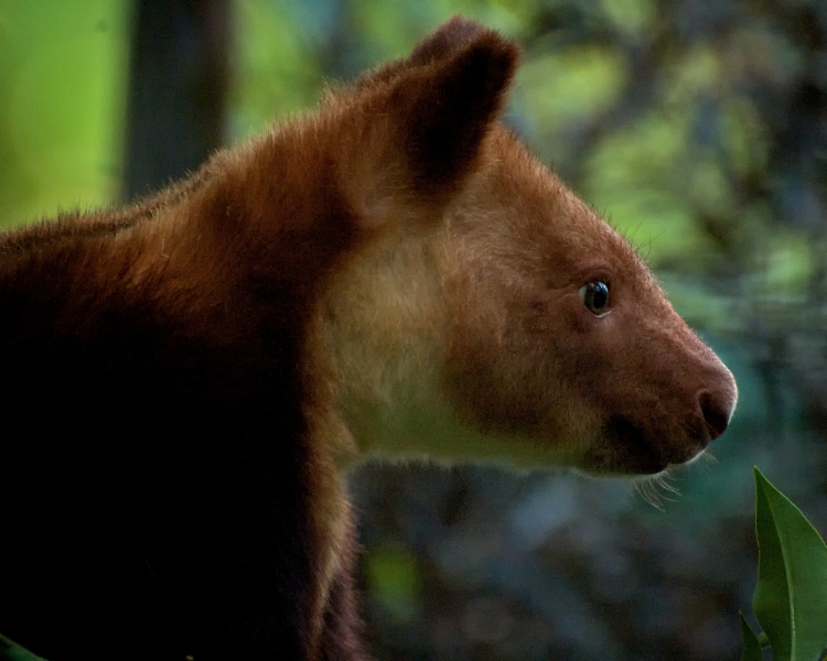Golden-Mantled Tree-Kangaroo