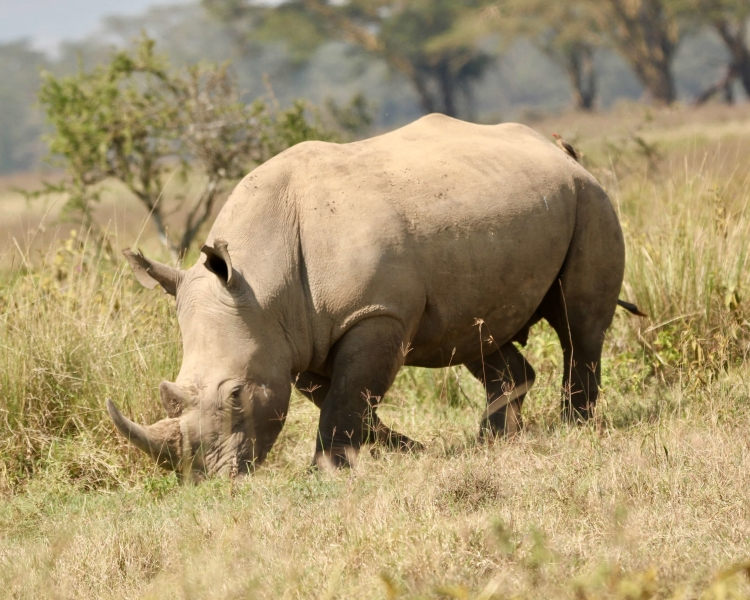 what is a white rhinos diet