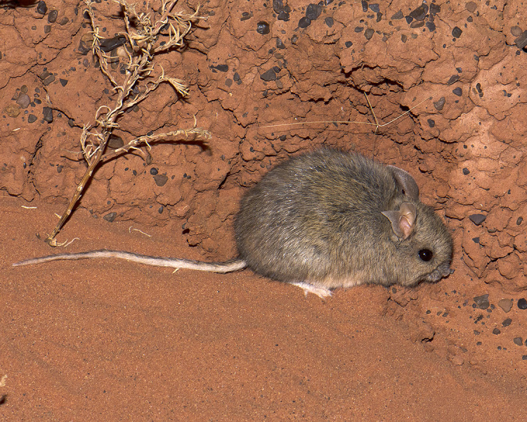 Plains Rat