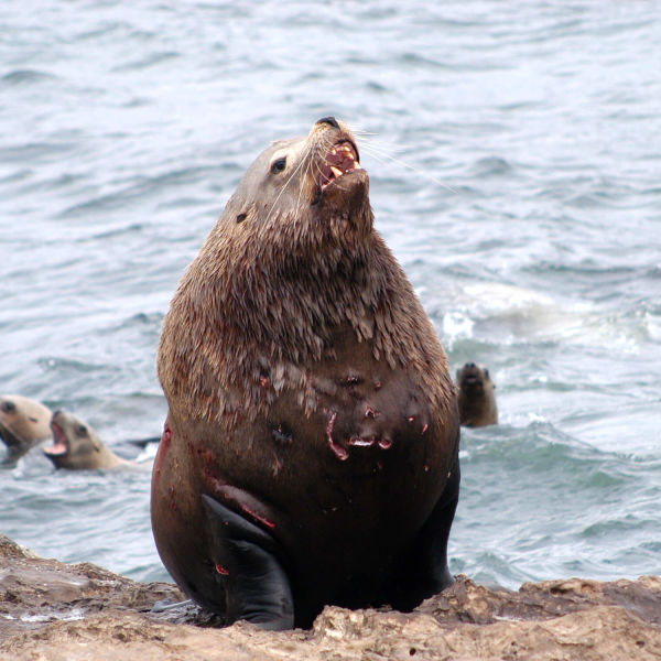 071203_steller_sea_lion_bull_rogue_reef_odfw