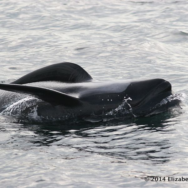 Long-Finned Pilot Whale photo