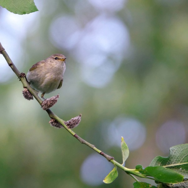 Common Chiffchaff photo