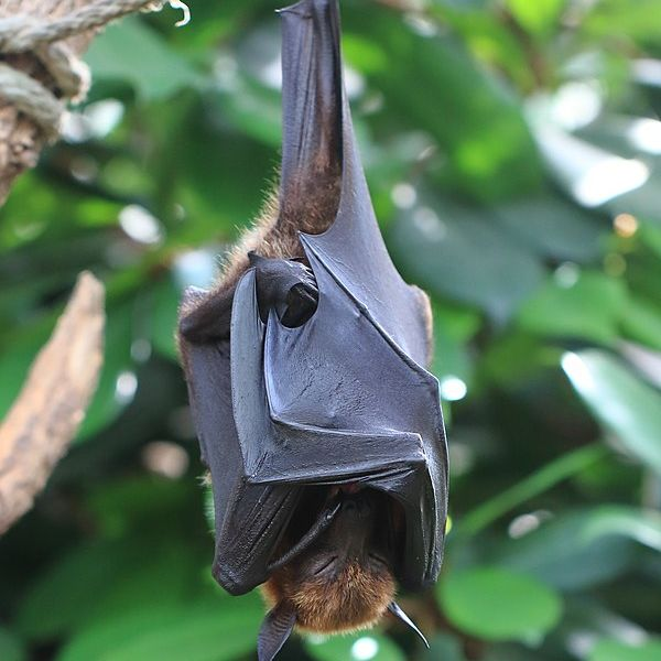 Large Flying Fox photo