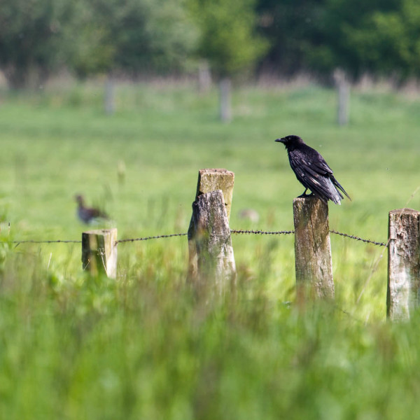 Carrion Crow photo