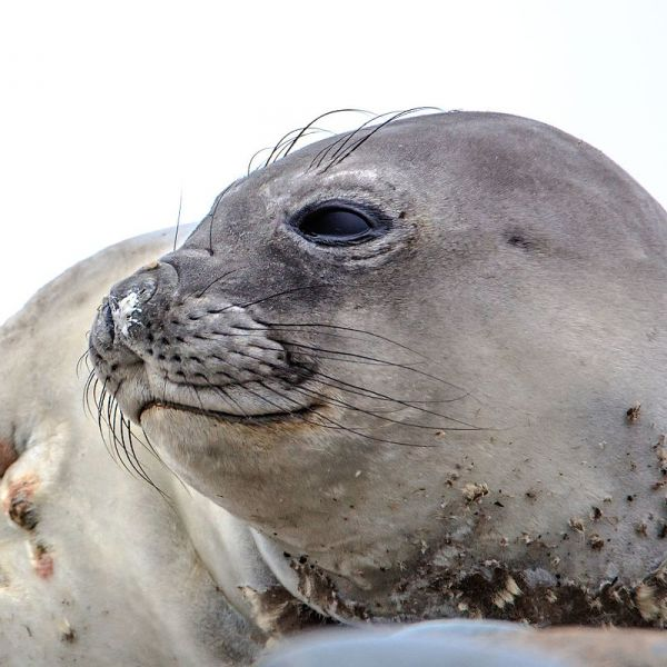 Weddell Seal photo