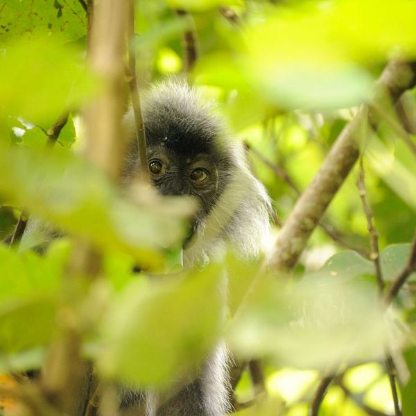 Silvery Lutung photo