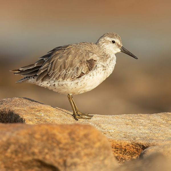 Red Knot photo