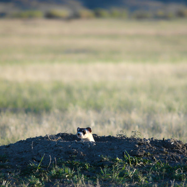 A just released black-footed ferret at Crow Nation