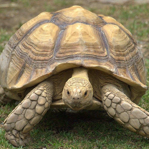 African spurred tortoise - photo#35