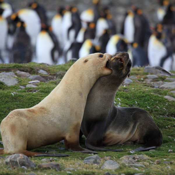 Antarctic Fur Seals fighting
