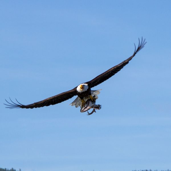 Bald Eagle & Fish