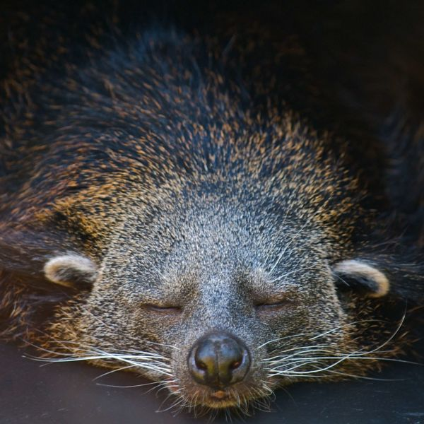 Best let sleeping binturongs lie!