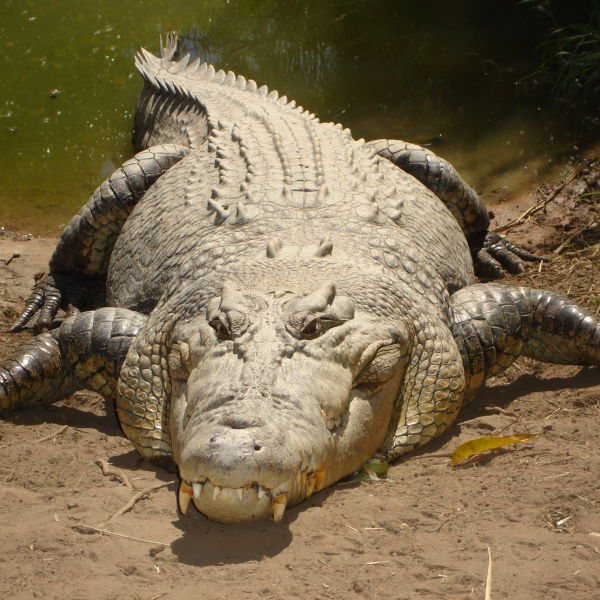 Big crocodile in Oz.