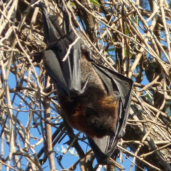 Black Flying Fox. Pteropus alecto