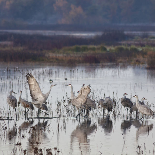 BLM Winter Bucket List #9: Cosumnes River Preserve, California, for the Trumpet and Dance of the Sandhill Crane