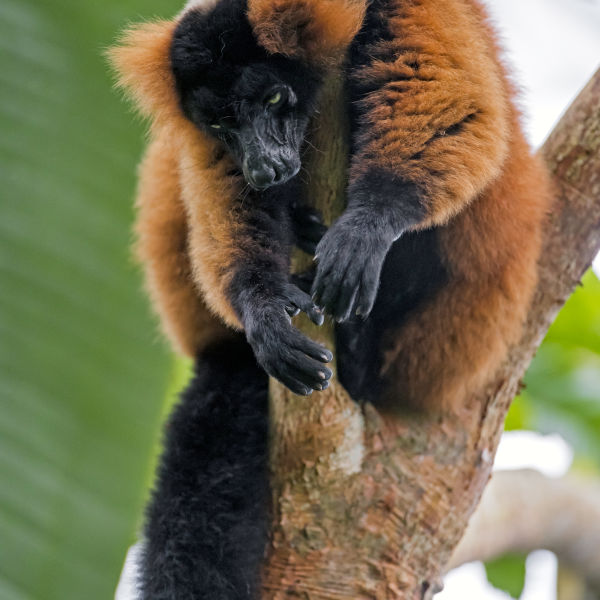 Bored red ruffed lemur on the tree