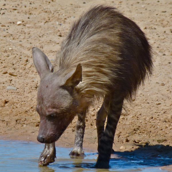 Brown Hyena (Parahyaena brunnea)