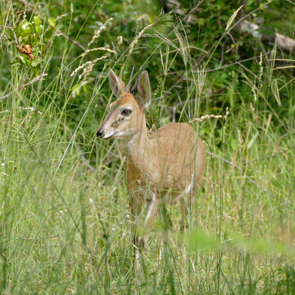 Bush Duiker (Sylvicapra grimmia) in the grass