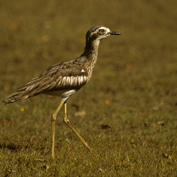 Bush Thick-knee - Australia 020013 (1)