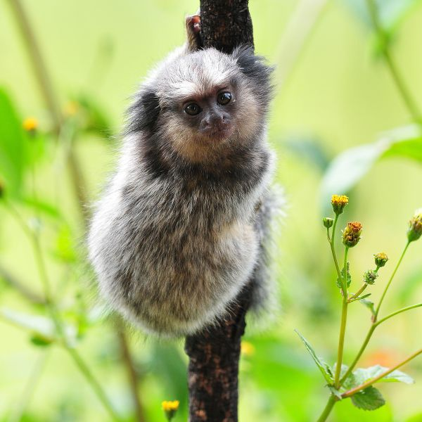 Black-Tufted Marmoset photo