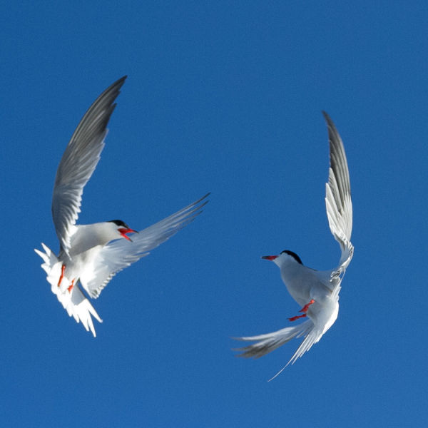 Common tern dance