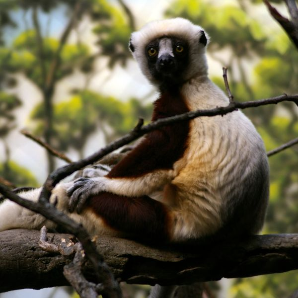 Coquerel's Sifaka at the Bronx Zoo