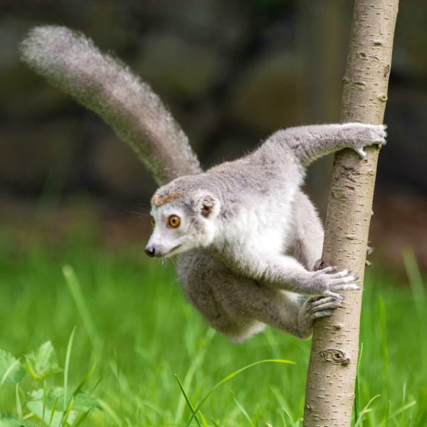 Crowned Lemur on Tree 3