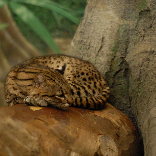 Dozing Geoffroy's Cat