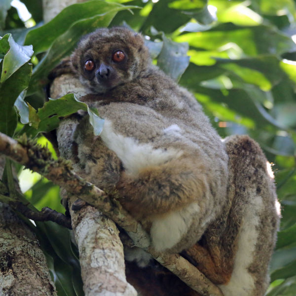 Eastern woolly lemur - baby